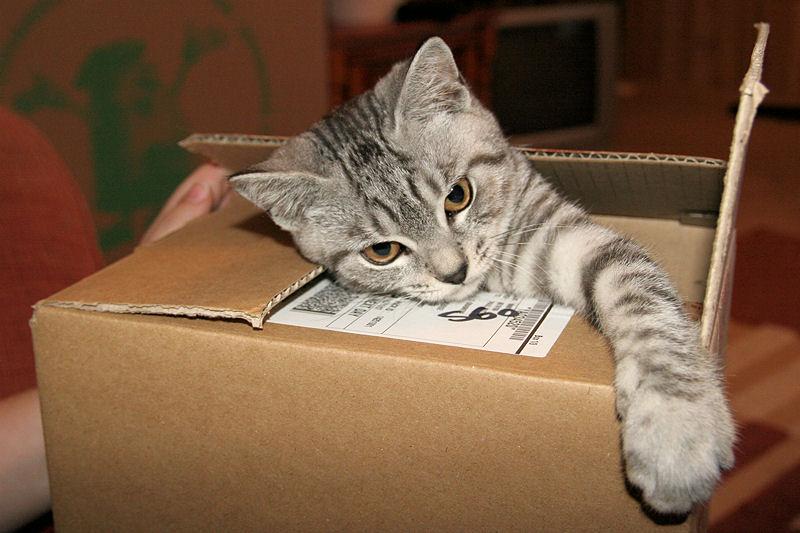 Silver_Tabby_Cat_In_A_Box_IMG_4451.jpg